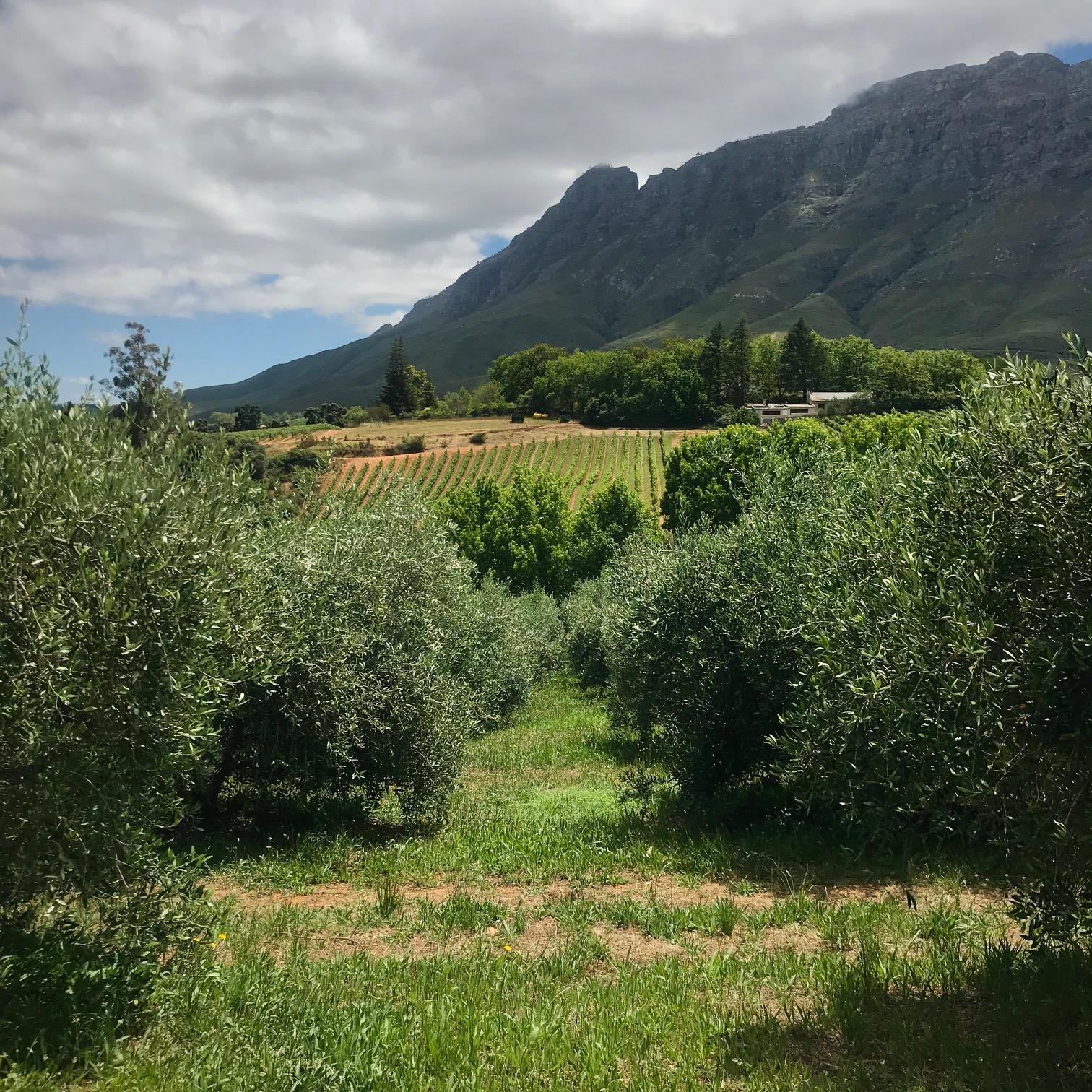 Tokara EVOO Olive Groves